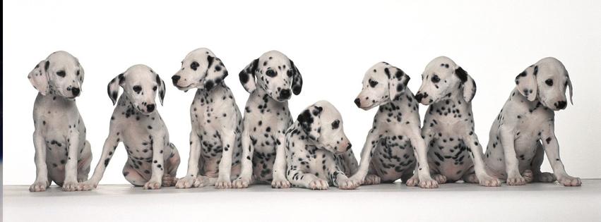 Dalmatians Facebook Cover