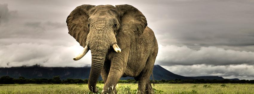 Amazing Elephant Facebook Cover