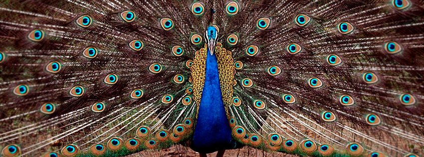 Beautiful Peacock Facebook Cover
