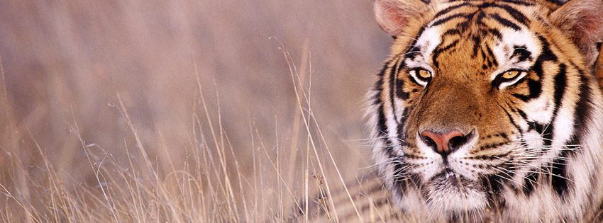 Tiger in India Facebook Cover