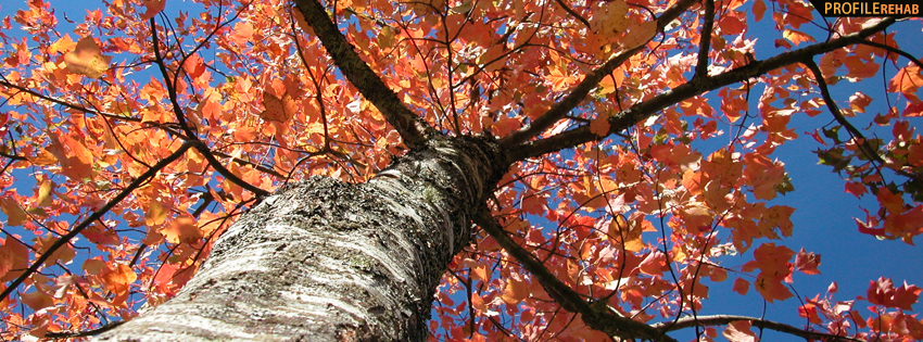 Bright Orange Fall Tree Facebook Cover - Free Autumn Pictures - Fall Foliage Pictures