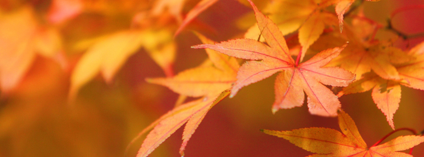 Orange Fall Leaves Facebook Cover - Beautiful Fall Leaves Pictures