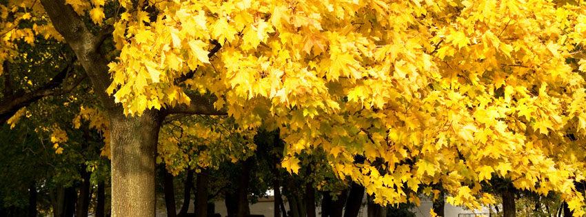 Yellow Autumn Tree Facebook Cover