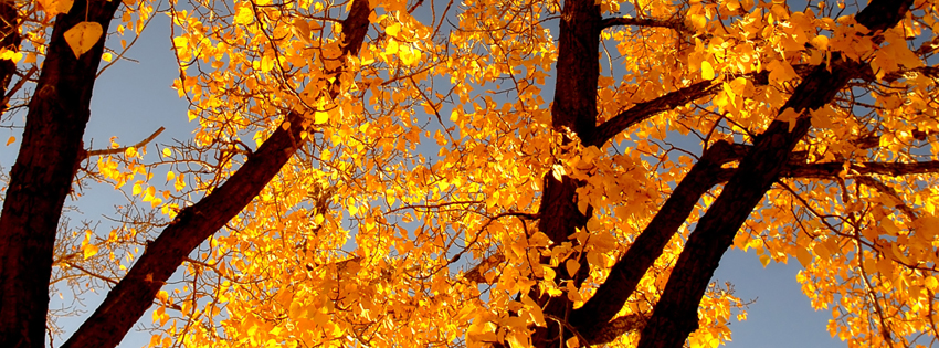 Fall Yellow Tree Facebook Cover - Beautiful Pictures of Fall Trees - Fall Trees Images