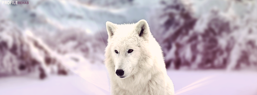 Winter White Wolf Images for Facebook