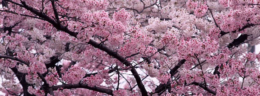 Cherry Blossoms Facebook Cover for Timeline