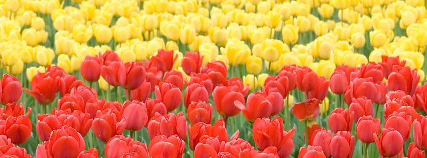 Field of Tulips Facebook Cover