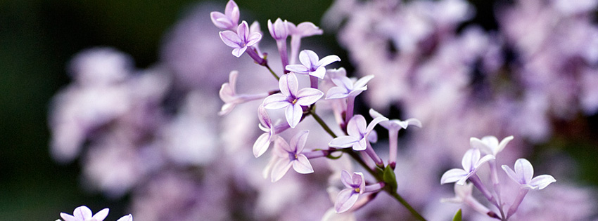 Lavender Flowers Facebook Cover