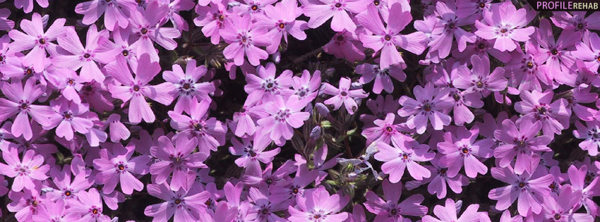 Lavendar Phlox Timeline Cover for Facebook