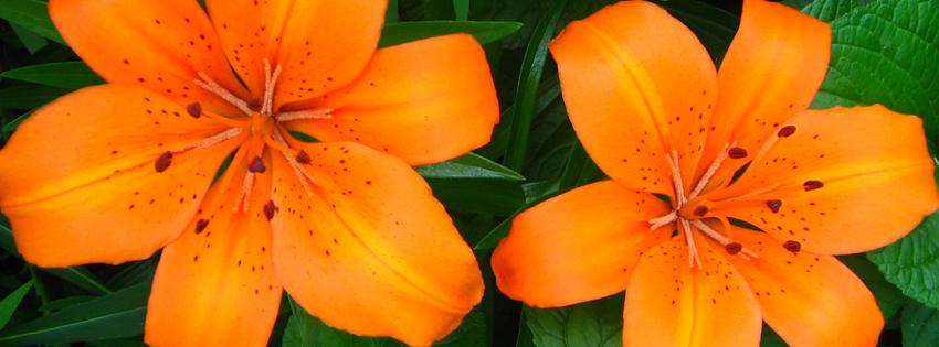 Orange Lilies Facebook Cover