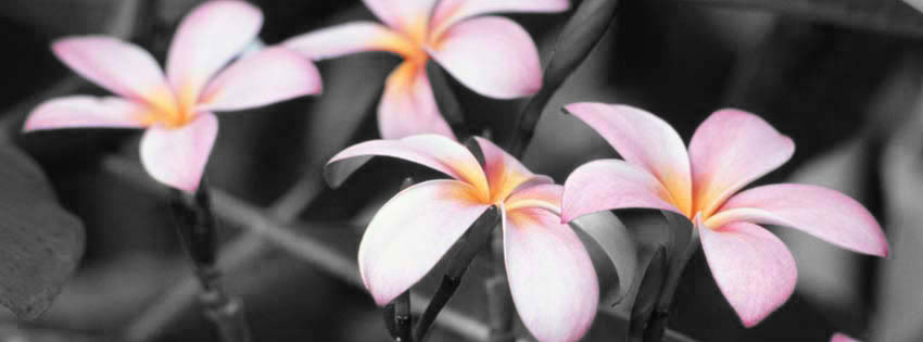 Pink and Black Flowers Facebook Cover