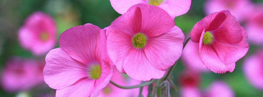 Pink Flowers Facebook Cover for Timeline