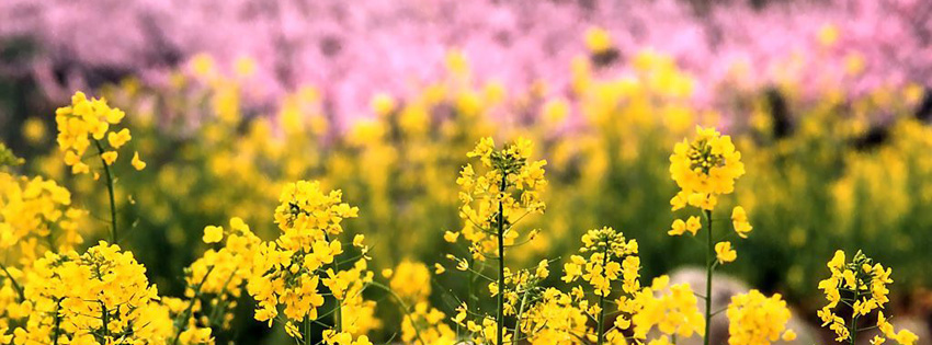 Yellow & Pink Flowers Facebook Cover
