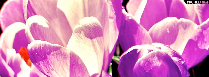 Purple Crocus Facebook Cover