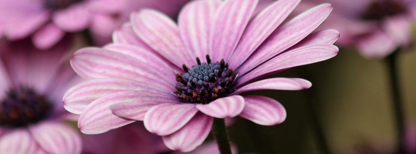 Purple Daisy Facebook Cover