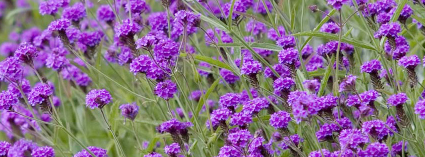 Purple Flowers Facebook Timeline Cover