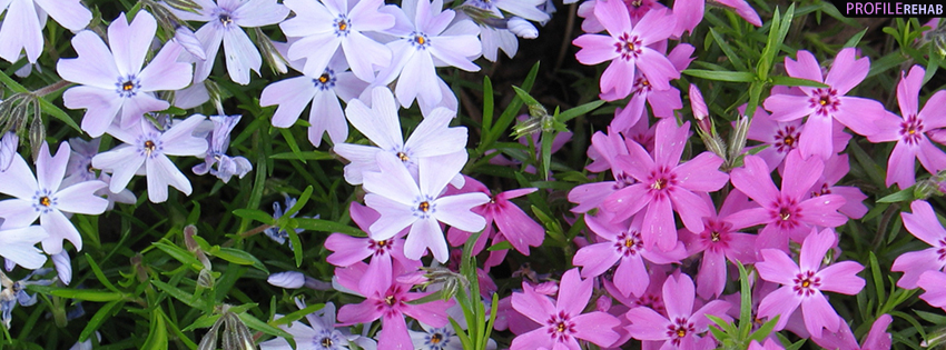 Purple Phlox Facebook Cover for Timeline