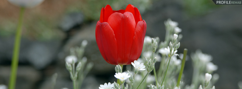 Red Tulip Facebook Cover for Timeline