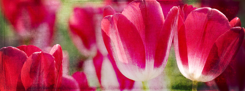 Grunge Tulips Facebook Cover