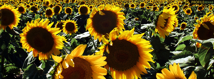 Field of Sunflowers Facebook Cover for Timeline