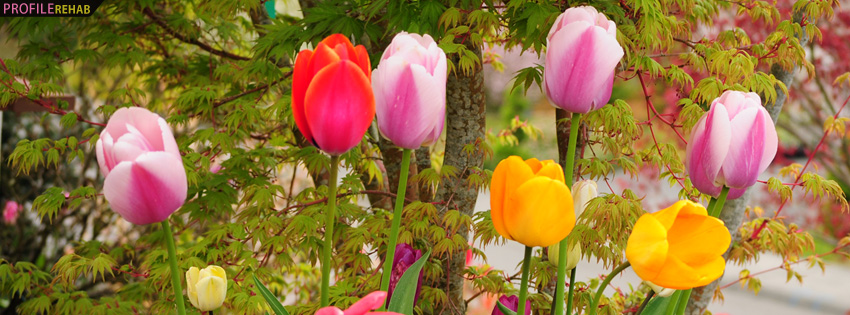 Colorful Tulips Facebook Cover