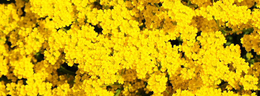 Yellow flowers facebook cover yellow flowers facebook cover preview mightylinksfo