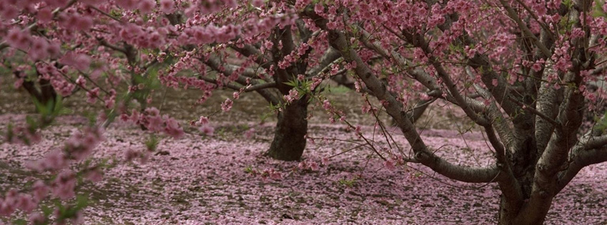 Pink Cherry Trees Facebook Cover