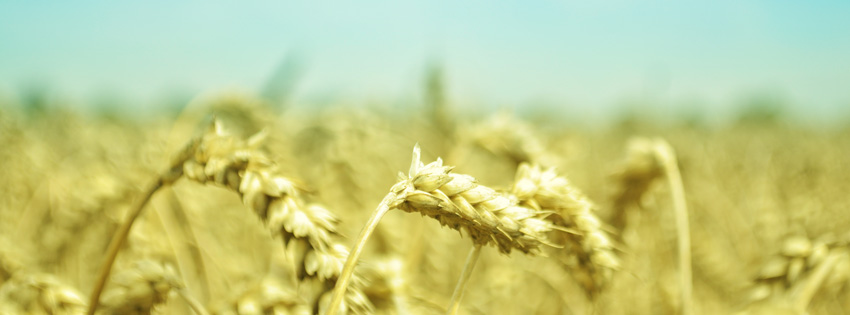 Wheat Field with Blue Sky Facebook Cover