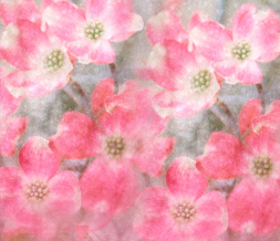 Pink Dogwood Flowers Twitter Background - Dogwood Blooms Theme for Twitter