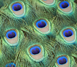 Green Peacock Feathers Twitter Background - Peacock Feathers Theme for Twitter
