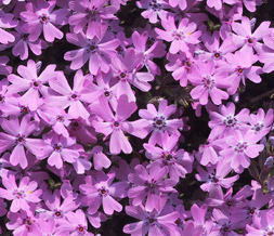 Tiling Purple Flower Twitter Background - Purple Flowers Theme for Twitter