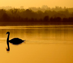 Scenic Gold Swan Twitter Background - Sunset Swan Background for Twitter