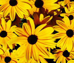 Yellow Flowers Twitter Background - Yellow Flowers Background for Twitter