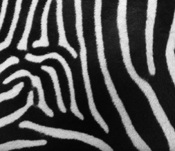 Real Zebra Print Default Layout - Cool Zebra Animal Print Default Theme